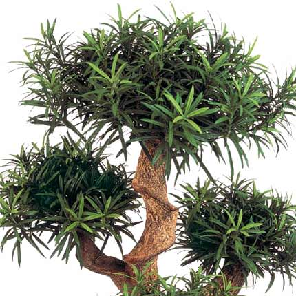 "Houseplant ""Podocarpus"" macrophylla (sectional) - order with delivery"