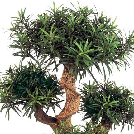 """Комнатное растение """"Подокарпус"""" крупнолистный (кустовой) - заказать с доставкой"""