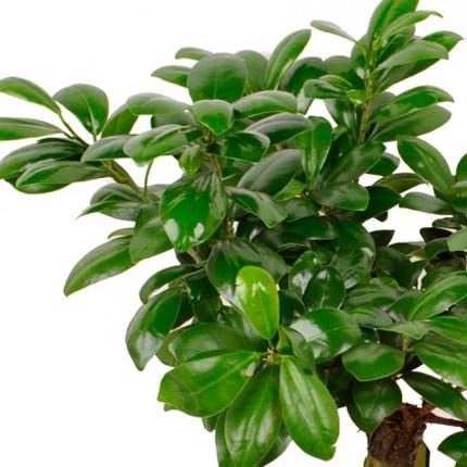 """Комнатное растение """"Фикус Гинсенг"""" - заказать с доставкой"""