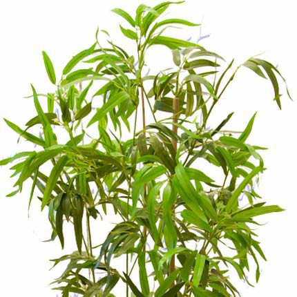 "Houseplant ""Bamboo"" (standard) - delivery in Ukraine"