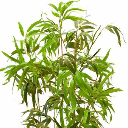 """Комнатное растение """"Бамбук"""" (обыкновенный, штамбовой) - доставка по Украине"""
