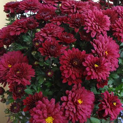 Хризантема в горщику (велика) - доставка по Україні