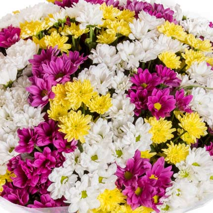 51 multicolored chrysanthemums - order with delivery