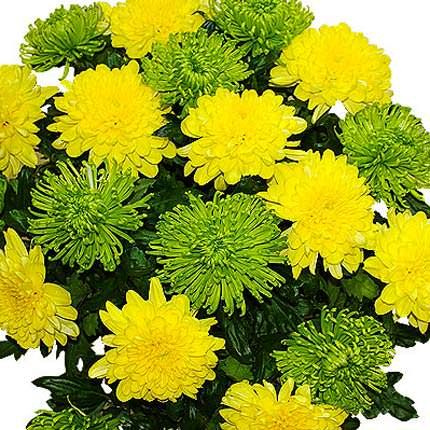 15 green and yellow chrysanthemums - delivery in Ukraine
