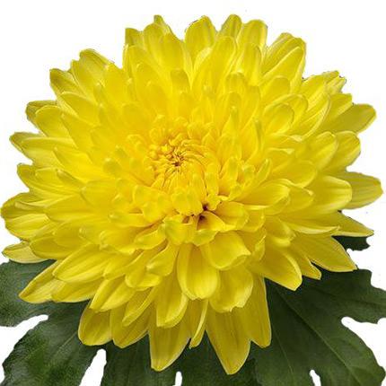 15 жовтих і зелених хризантем - замовити з доставкою