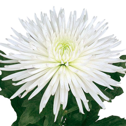 15 white chrysanthemums - order with delivery