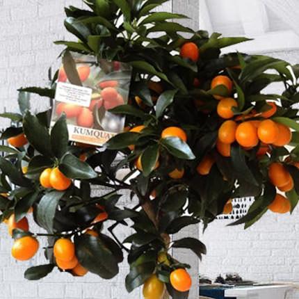 """Комнатное растение """"Цитрус Кумкват"""" (Kumquat) - доставка по Украине"""