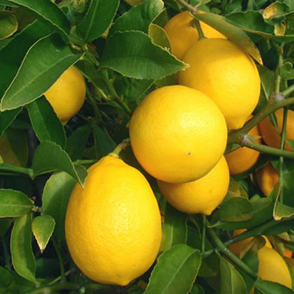 "Houseplant ""Citrus-Limon"" (Lemon Trellis) - delivery in Ukraine"