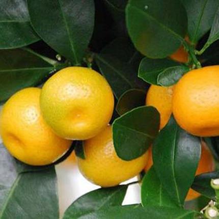 """Комнатное растение """"Цитрус-Каламондин"""" (мини-штамб) - доставка по Украине"""