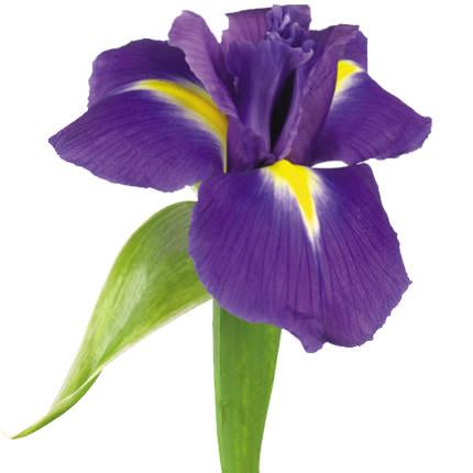 51 фиолетовый ирис - заказать с доставкой