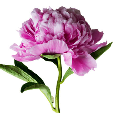 15 delicate peonies - order with delivery