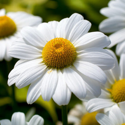 "Bouquet ""51 sunny chamomile"" - delivery in Ukraine"