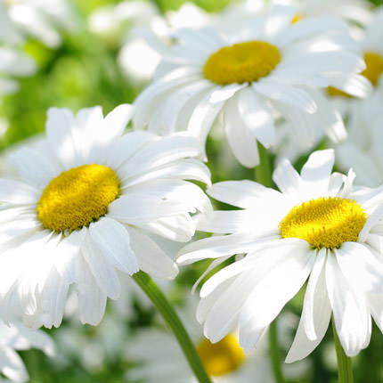 "Bouquet ""51 sunny chamomile"" - order with delivery"
