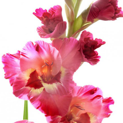 15 multicolored gladioluses - delivery in Ukraine