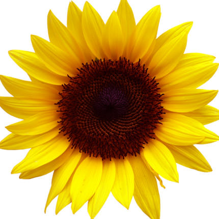 9 bright sunflowers - order with delivery