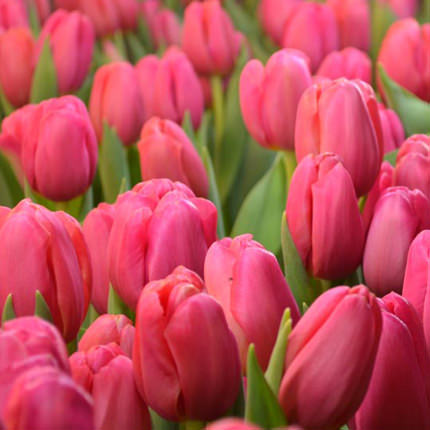 9 pink tulips - order with delivery