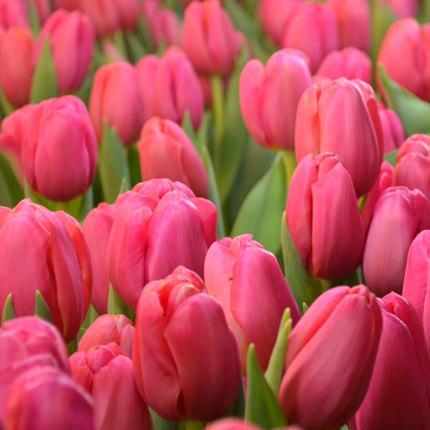 9 рожевих тюльпанів - замовити з доставкою