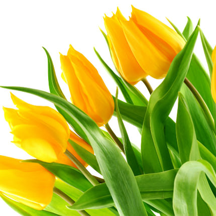 9 yellow tulips - order with delivery
