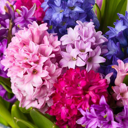 "Flowers in a box ""15 delicate hyacinths"" - order with delivery"