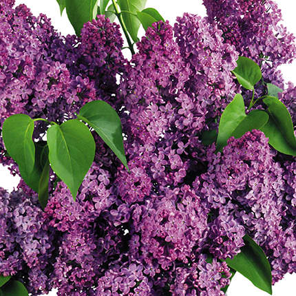 "Basket ""Aromatic lilac"" - delivery in Ukraine"