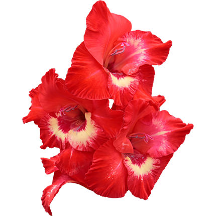 11 multicolored gladioluses - order with delivery