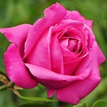 """Букет в конус-пакете """"11 розовых роз"""" - заказать с доставкой"""