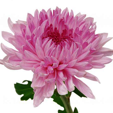 15 pink chrysanthemums - order with delivery