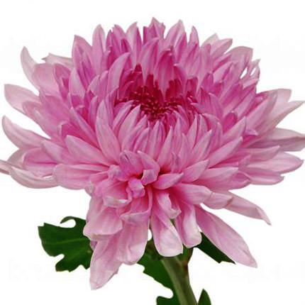 15 розовых хризантем - заказать с доставкой