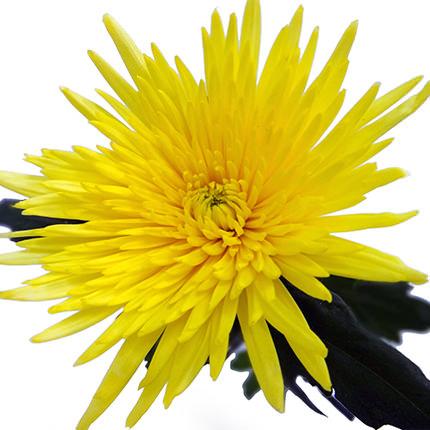 11 жовтих хризантем - замовити з доставкою