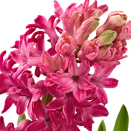 Hyacinth (potted) - order with delivery