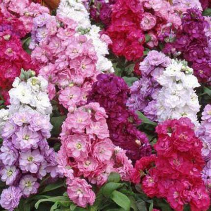 25 веток разноцветной маттиолы - доставка по Украине