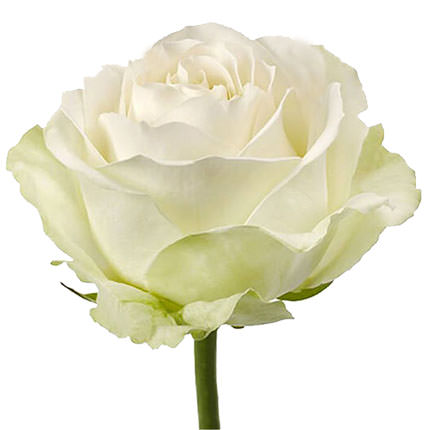 "Bouquet ""11 white roses"" - order with delivery"