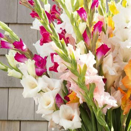 35 multi-colored gladioluses - order with delivery