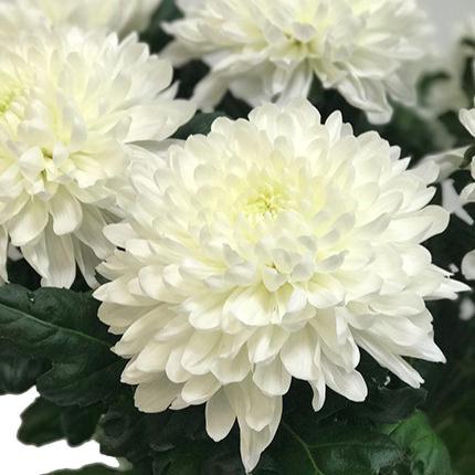 7 білих хризантем - доставка по Україні