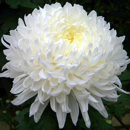 7 білих хризантем - замовити з доставкою