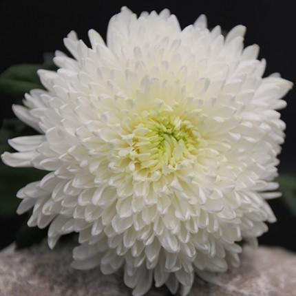 25 білих хризантем - доставка по Україні
