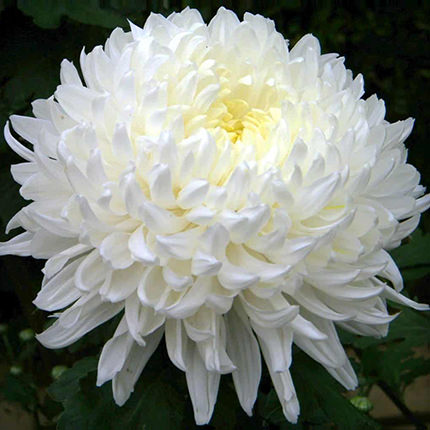 25 white and pink chrysanthemums - delivery in Ukraine