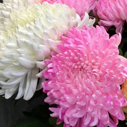 25 white and pink chrysanthemums - order with delivery