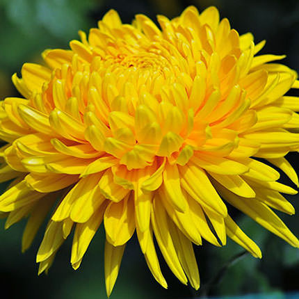 9 yellow chrysanthemums - order with delivery