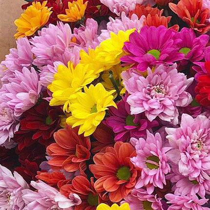 15 разноцветных хризантем - заказать с доставкой