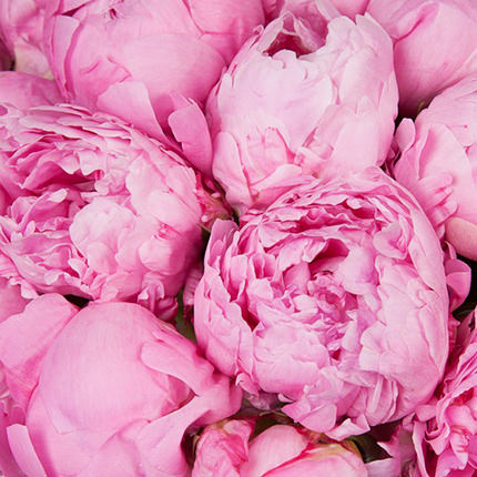 19 tender peonies - order with delivery