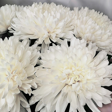 5 white chrysanthemums - order with delivery