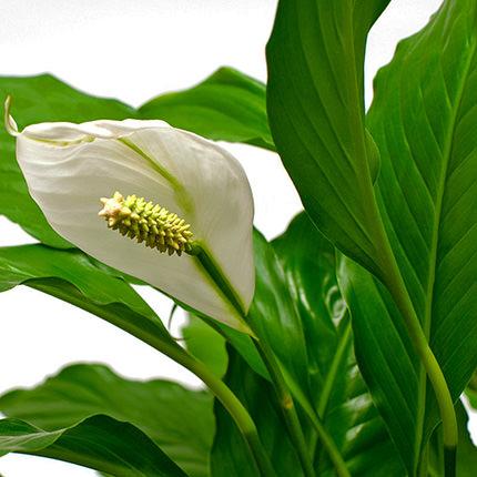 """Комнатное растение """"Спатифиллум"""" - заказать с доставкой"""
