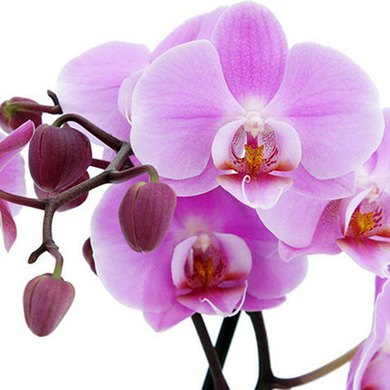 """Комнатное растение """"Фаленопсис"""" (орхидея) - доставка по Украине"""