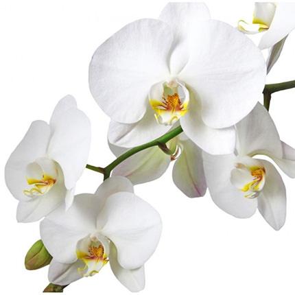 """Комнатное растение """"Фаленопсис"""" (орхидея) - заказать с доставкой"""