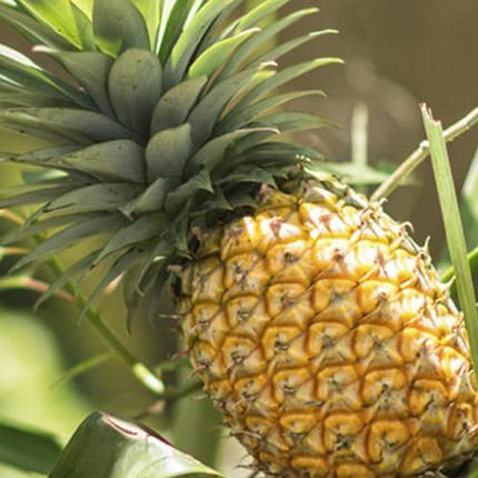 "Houseplant ""Pineapple"" - delivery in Ukraine"