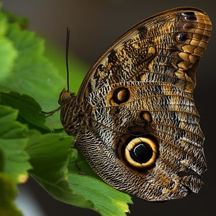 """Живая бабочка """"Калиго"""" - заказать с доставкой"""