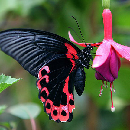 "Live butterfly ""Red Mormon"" - order with delivery"