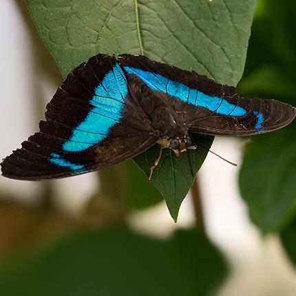 """Живая бабочка """"Препона"""" - заказать с доставкой"""