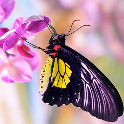 """Живая бабочка """"Птицекрылка золотистая"""" - доставка по Украине"""